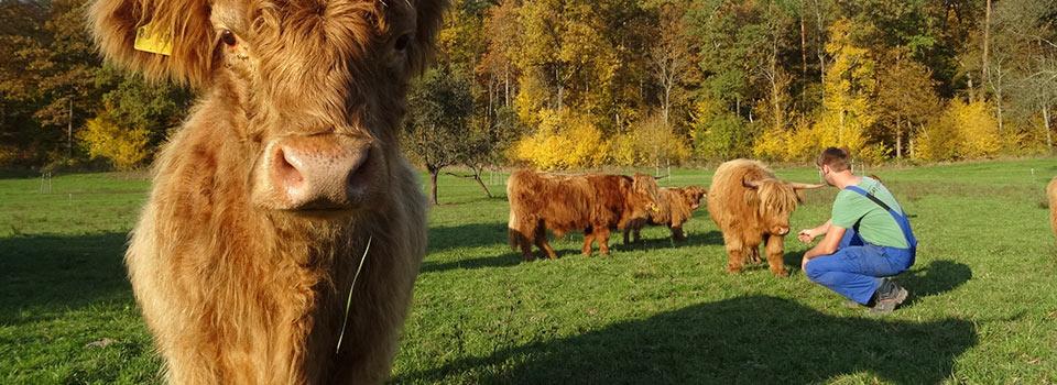 Highlander Herde mit Chef