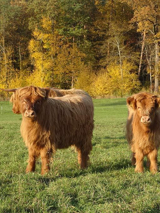 Highlander Herde